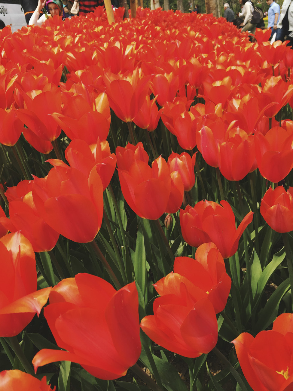 turkey tulips emirgan park