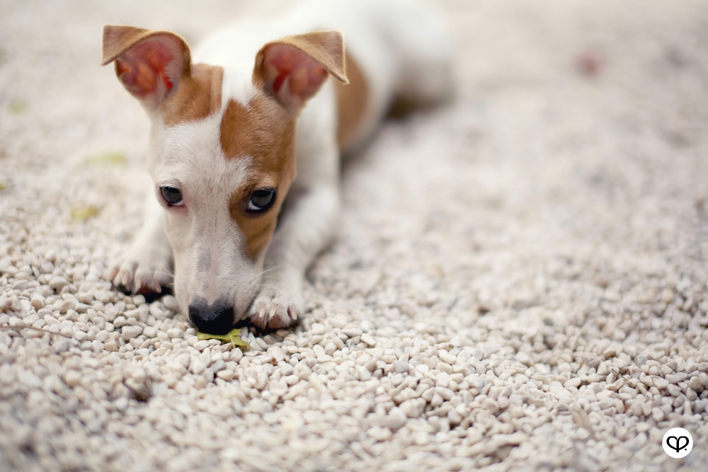 heartpatrick pets dogs jack russell terrier